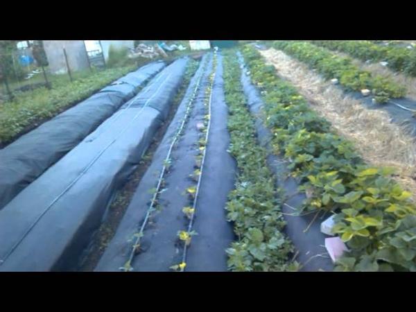 Клубника капельный полив органика 04 06 2015 №3,2 Первый урожай и немного выводов