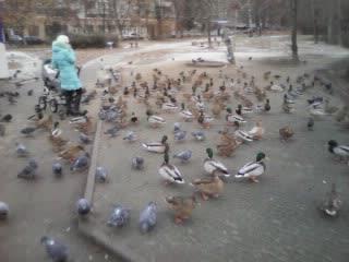 Утки рулят, голуби курят. Рязань, Дашково-Песочня. 19 ноября 2018 года