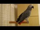 Майданутый попугай Яшка