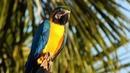 Blue and yellow Macaw Сине жёлтый ара Ara ararauna