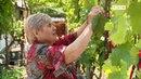 Виноград. Зеленые операции и прививки. 6 соток. Передача от 28.05.2018.