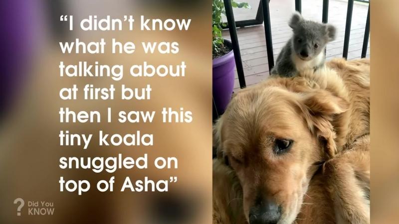 Золотой ретривер спас жизнь коале и они теперь дружат