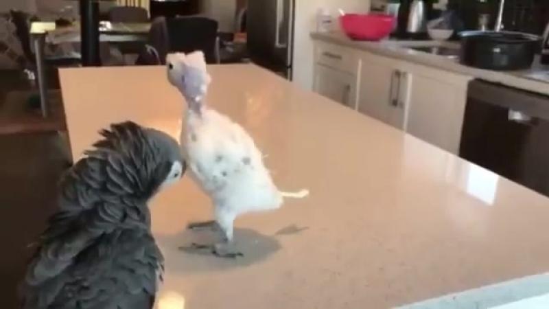 Попугай ритмично танцует Так он пытается привлечь внимание понравившейся самки