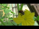 2016-07-01 дача - Шмель на цветке огурца