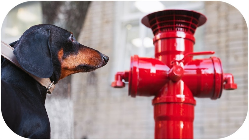 Does your dog love hydrants Funny dachshund video!
