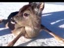 На Финском заливе сотрудники береговой охраны спасли оленёнка