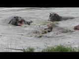 Бегемоты отбили антилопу гну у голодных крокодилов в ЮАР. Видео
