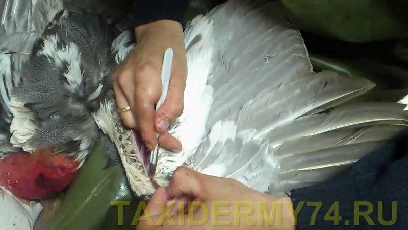Четвертый Видеоурок по таксидермии птиц: изготовление изделия Чучело глухаря