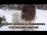 Шарпей, похожий на медвежонка, стал звездой соцсетей
