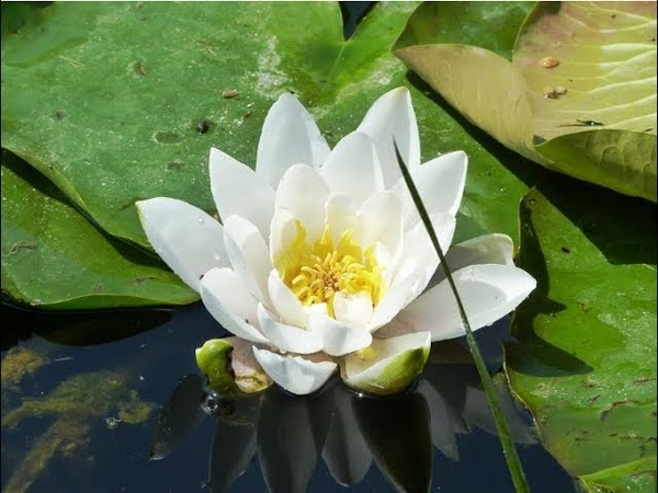 Картина маслом поэтапно Кувшинки.Water Lilies.Picture.Flower