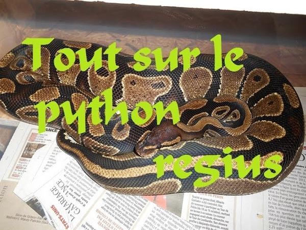 Tout sur le python regius partie 1 elevage nourrissage etc