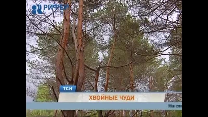 Хвойные чуди. Жители Закамска обнаружили в лесу шарообразные сосны
