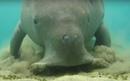 Dugong dugon sea cow digging sea grass