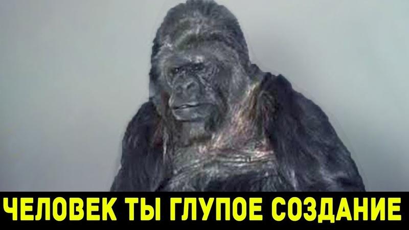 О чем рассказывала говорящая горилла Коко