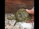 FIRAT KAPLUMBAĞASI Euphrates Soft shelled Turtle Rafetus euphraticus