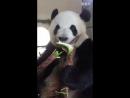 Панда обедает