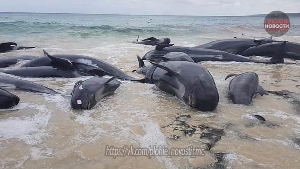 В Новой Зеландии 145 дельфинов-самоубийц выбросились на берег Более 145 черных дельфинов (гринды) выбросились на берег пляжа острова Стьюарт в Новой Зеландии за минувшие выходные. Об этом