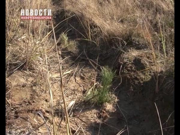 Молодежь Новочебоксарска посадила сосны в Чебоксарском лесничестве