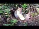 17 07 2018 Бурундук и яблоко и недовольство где орехи