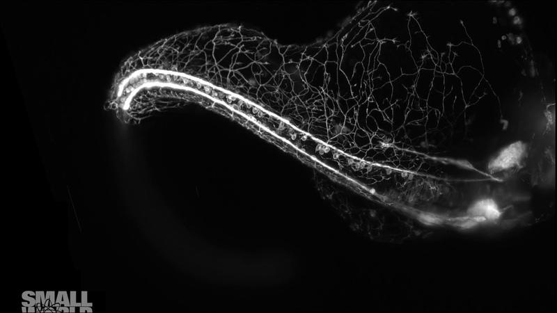 Zebrafish embryo growing its elaborate sensory nervous system (visualized over 16 hours of development)