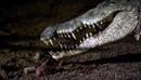 Нильский крокодил выживает с копьём в брюхе