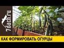 🥒 Как формировать огурцы для обильного урожая Пример самоопыляемый гибрид 'Солтис F1' 7 дач