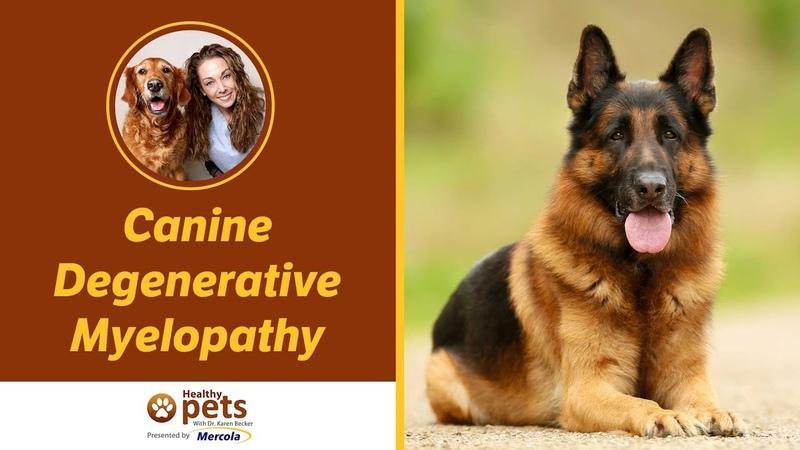Дегенеративная миелопатия у собак Canine Degenerative Myelopathy