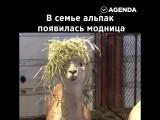Модная альпака
