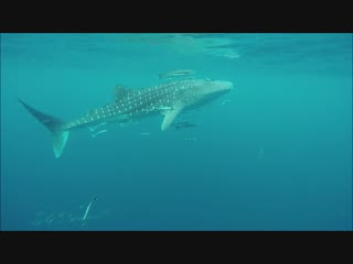 Фридайвинг с китовой акулой