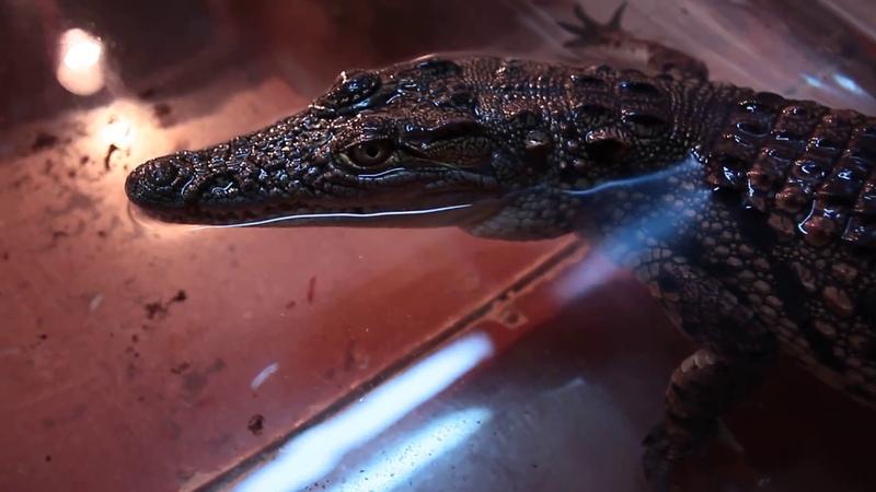 Подросток нильского крокодила. Проявление агрессии по отношению к инструменту, при близком контакте.