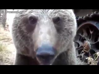 Медведь вышел к вахтовикам