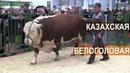 Показ мясного скота Казахская Белоголовая порода Выставка Золотая Осень 2017