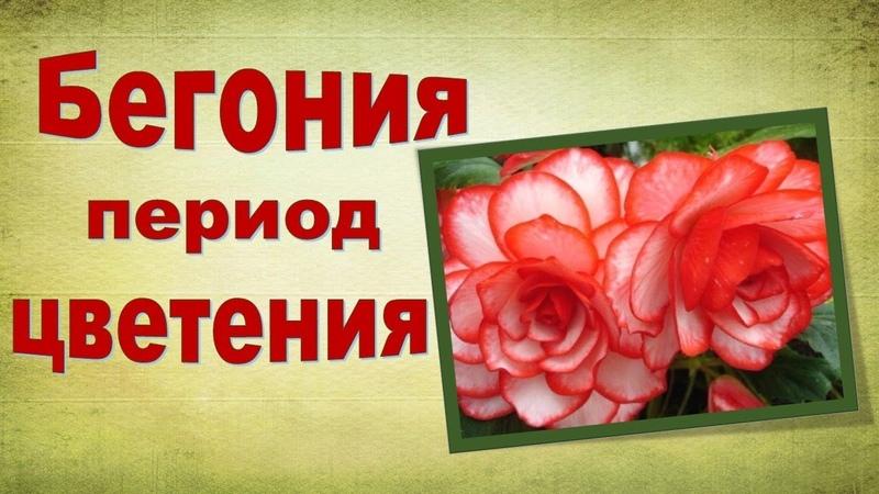 Бегония Особенности ухода в период цветения