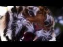 Природа тайги. Мир животных. Амурский тигр. Документальный фильм National Geogra