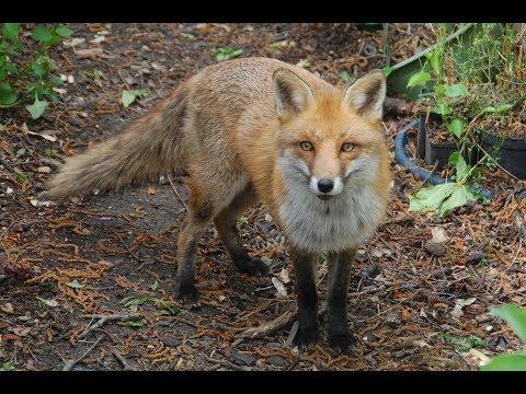Immer diese Füchse - Fuchs macht Sitz - lustiger, zahmer Fuchs