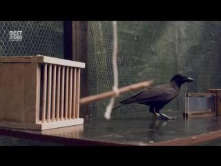 Тот случай, когда ворона умнее тебя