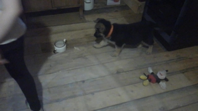 моя собака лает на чайник