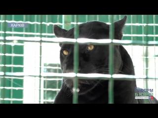 У Харківському екопарку з'явився ще один чорний ягуар