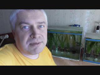Сегодня посадил водоросли в аквариум и запустил своих рыбок гуппи