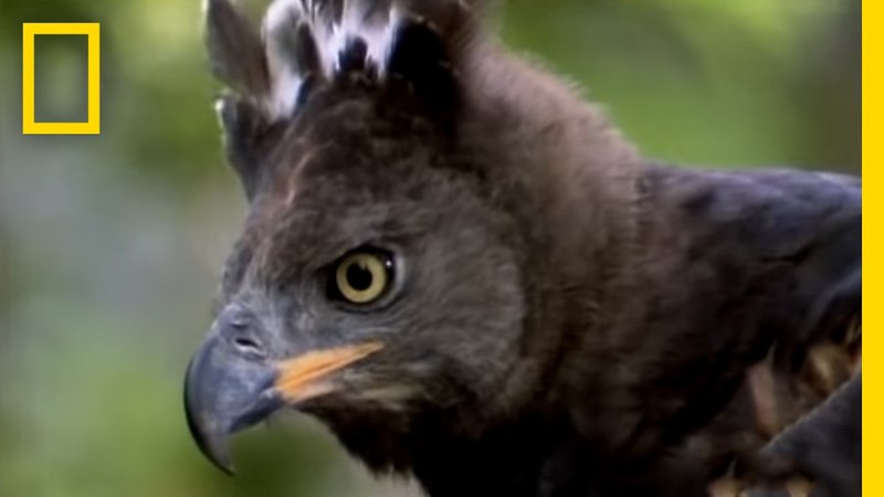 Eagle vs Water Chevrotain National Geographic