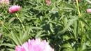 (83) Mutabilis Plena | R2 Flowers BV | Peonies - YouTube