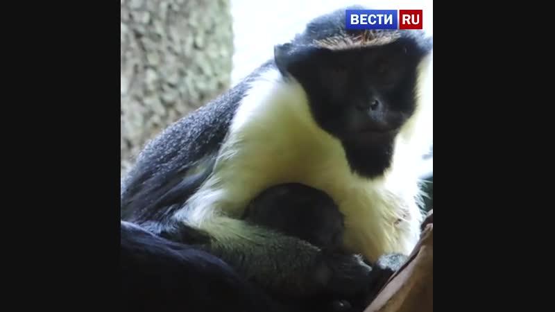 В Московском зоопарке родился первый за 15 лет детеныш мартышки дианы