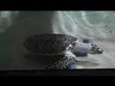 черепаха сама себя развлекает