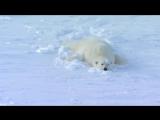 Polar Bear Rescues Our Blizzard Spy Camera - Polar Bear Spy On The Ice - BBC Earth