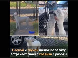 Слепой и глухой щенок встречает своего хозяина