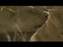 Прайд львов ест еще живого слоненка