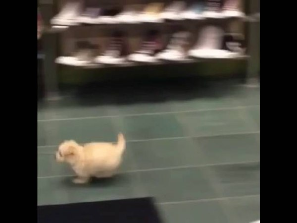 Puppy running in shoe store