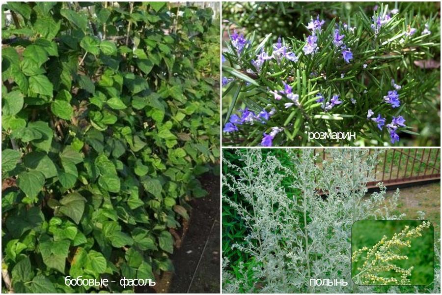 Бобовые растения, полынь, розмарин