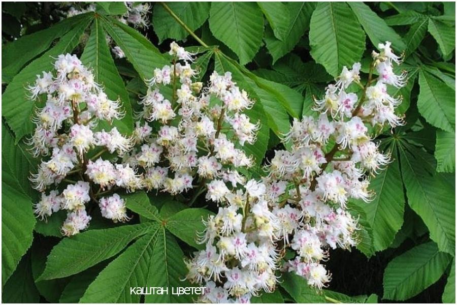 Ореховые деревья, настои пижмы или помидорных листьев