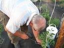 Как мы подвязываем помидоры